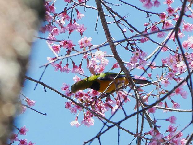 写真: アカハラコノハドリ(Orange_bellied Leafbird) P1090265_RS2