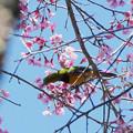 アカハラコノハドリ(Orange_bellied Leafbird) P1090265_RS2