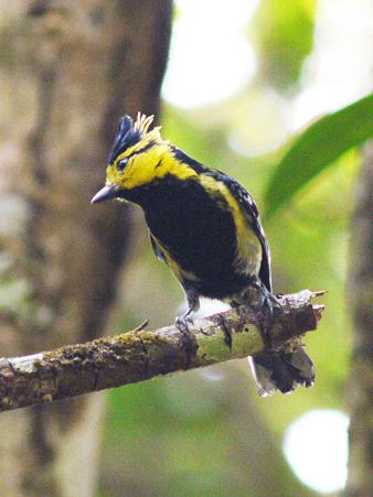 セボシカンムリガラ(Yellow-cheeked Tit) P1070964_R