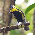 Photos: セボシカンムリガラ(Yellow-cheeked Tit) P1070964_R