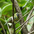 写真: アカハラコノハドリ(♀)(Orange_bellied leafbird) P1120679_R
