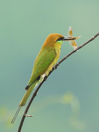 ミドリハチクイ(Green Bee-eater) P1240686_R