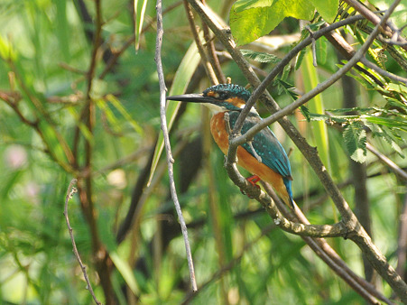 カワセミ(Common Kingfisher) DSC_4492_R