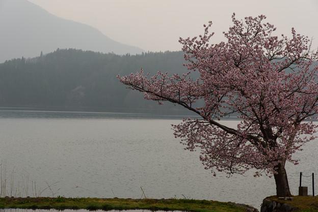 青木湖の桜(水鏡)20160424