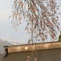 白馬村の桜巡り(貞麟寺)