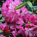 Photos: 我が家の石楠花
