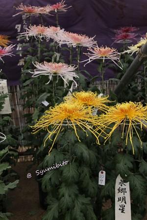 南陽の菊祭り (2)