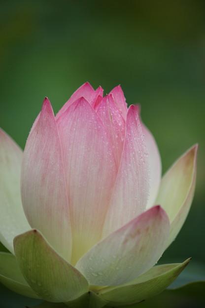 たての香苑の蓮 (3)