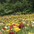 写真: どんでん平ゆり園(山形県山形市) (3)