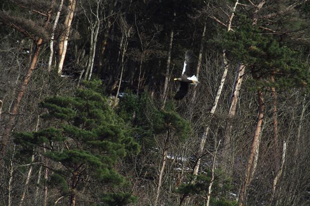 写真: 山本山のオオワシさん
