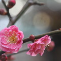 写真: 古都の梅