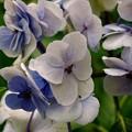 紫陽花っぽい花