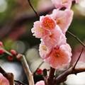Photos: ふんわりピンク
