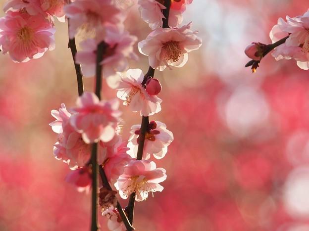 春色ピンク