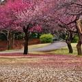 写真: 花びらの絨毯