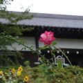 写真: 秋のバラ 赤