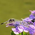 Photos: 紫陽花にトンボ
