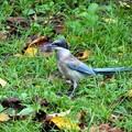 Photos: オナガ若鳥
