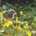 写真: 雀とキバナコスモス