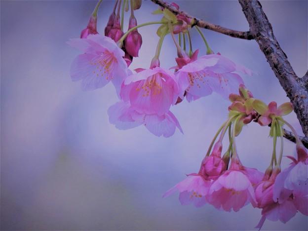 写真: 陽光桜