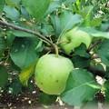Photos: リンゴ(パインアップル)