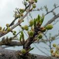 写真: プラムの花はいつ咲くのかの~