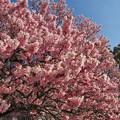 寒桜・1-4