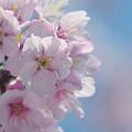寒桜・2-4