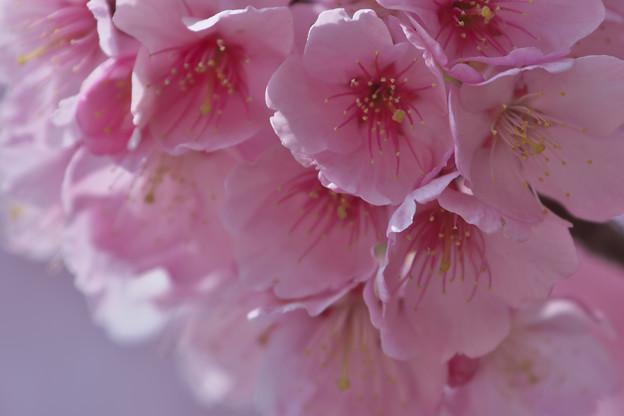 寒桜・4-3