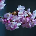 寒桜・4-4