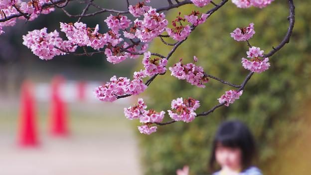 寒桜・5-1