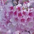寒桜・5-4