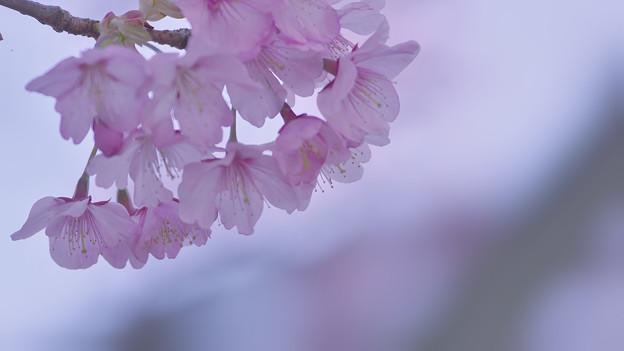 寒桜・6-2