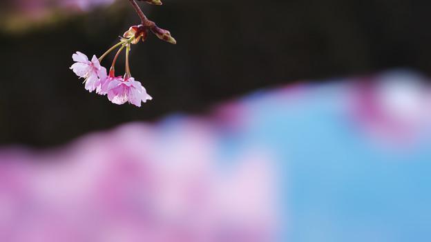 寒桜・6-3