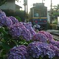 Photos: 08.07.02江ノ電紫陽花