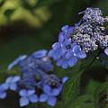 5月21日、萼紫陽花の花と萼(2)