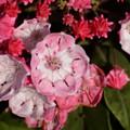 Photos: 5月21日、カルミラの花と蕾(2)