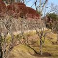 男山配水池公園の梅(1)