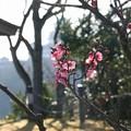 男山配水池公園の梅(2)