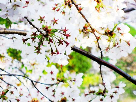 桜の花のお星様