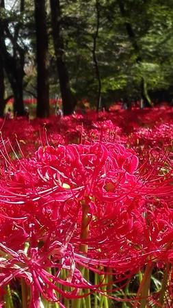 巾着田の彼岸花 赤いカーペット
