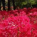 Photos: 巾着田の彼岸花 赤いカーペット