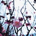 春咲き小紅