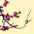 Photos: 紅梅図
