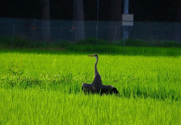 Photos: 日光浴(鷺)