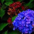 Photos: 夏の終わりの紫陽花