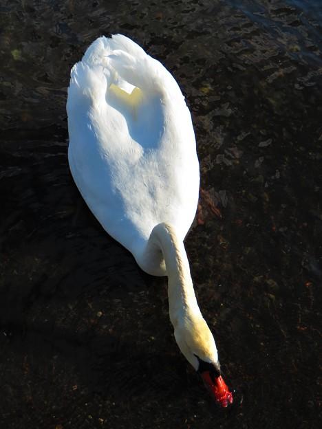 写真: 白鳥