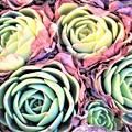 写真: 彩度 多肉植物