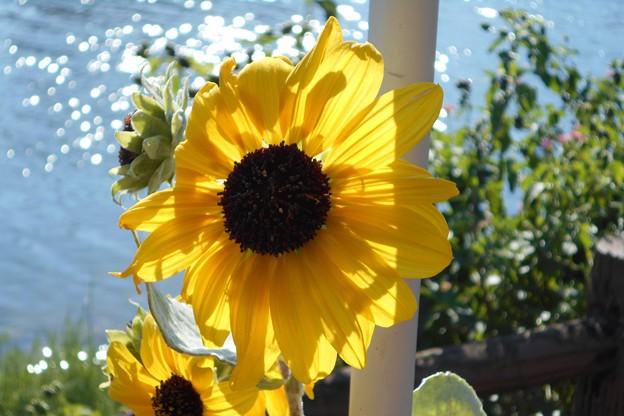 川辺の向日葵