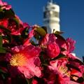 写真: 横浜港シンボルタワーと山茶花